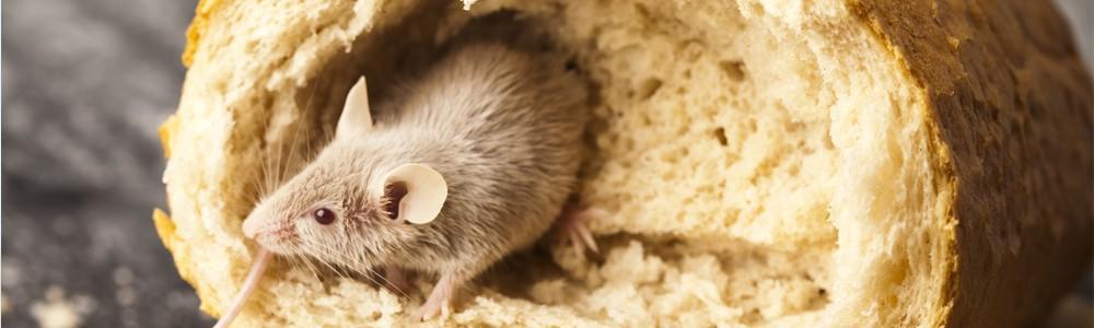 Eliminar ratones en Albacete